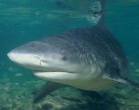 Most Aggresive Shark - Bull shark