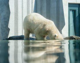 Climate Change - Polar Bear